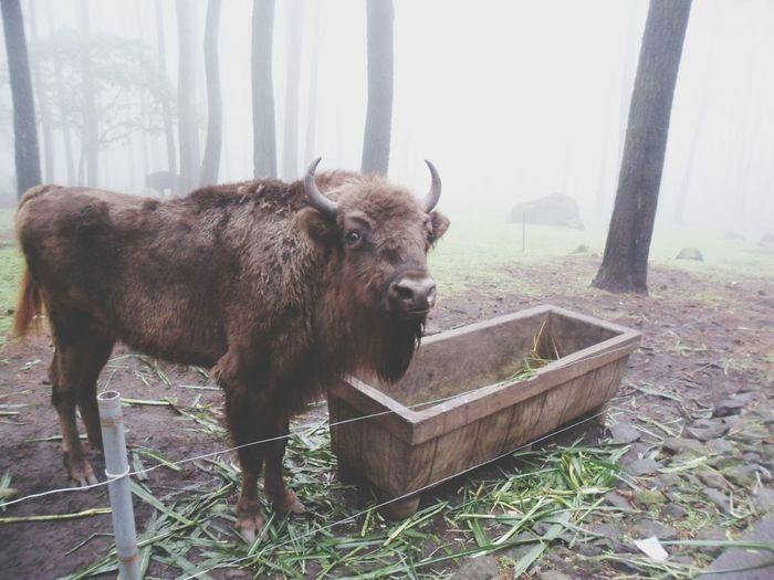 Oil Pump American Bison Fog Grass Livestock Highland Cattle Bull - Animal Farm Animal Moose Tundra Wyoming Alaska - Us State Taurus Antler Horned Water Buffalo Cattle Domestic Cattle Cow Livestock Tag Domesticated Animal Tag Calf Holiday Moments