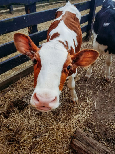 Agriculture Animal Animal Head  Animal Pen Baby Cow Cattle Cow Farm Hay Livestock Mammal Nature Portrait