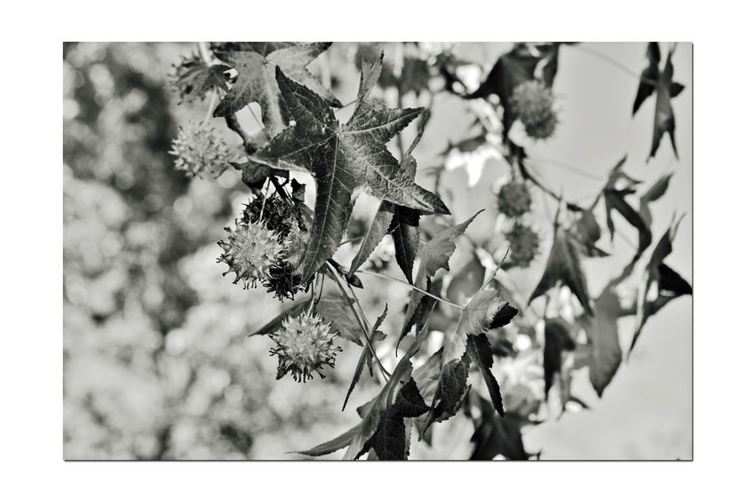 Autumn's Fallout 9 Don Castro Park Leaves🌿 Autumn Autumn Leaves Leaves_collection Bnw_friday_eyeemchallenge Bnw_leaves Fall Nature Beauty In Nature Nature_collection Monochrome Monochrome Photograhy Tree Black & White Black And White Photography Black And White Black And White Collection  Leaves In A Tree Botany