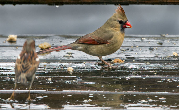 Cardinal on deck Northern Cardinal Animal Themes Animal Wildlife Animals In The Wild Beauty In Nature Bird Bird In The Rain Close-up Day Nature No People One Animal Outdoors Perching Sparrow Water Wet Deck