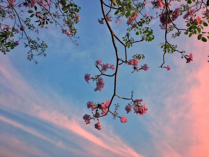 Lovely Sky Cotton Candy Sky Beauty In Nature Flower Nature Sky Tree Growth Low Angle View Branch No People Outdoors Freshness Fragility Day