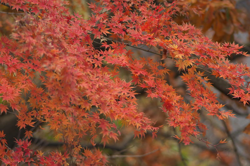 Winter in Japan. Autumn Change Beauty In Nature Growth Plant Part Leaf Plant Orange Color Close-up Day No People Nature Red Branch Tree Selective Focus Maple Leaf Vulnerability  Outdoors Fragility Maple Tree Leaves Autumn Collection Natural Condition Fall
