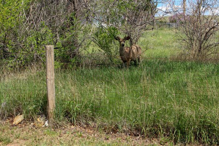 Young buck grazing in Wyoming Deer Grass Green Trees Wyoming Wyoming Wildlife Wyoming Animals Buck Fence Mule Deer Mule Deer Buck