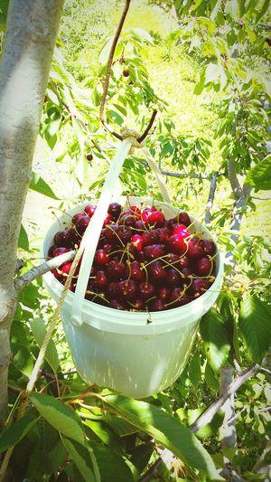 ? cherry fruit nature
