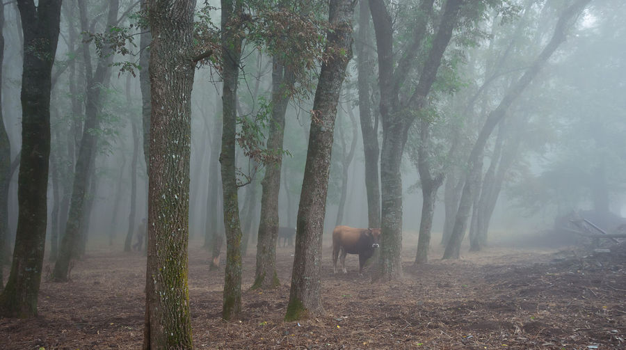 Cow amidst trees on field during foggy weather