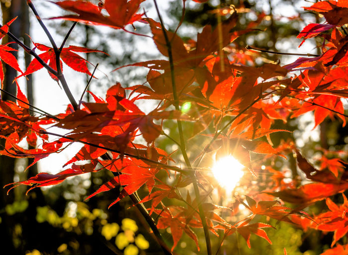 Japanese fan maple (acer sp.) against the setting autumn sun, strong colour and light effects Red Acer Acer Japonicum Acer Palmatum Acer Shirasawanum Autumn Beauty In Nature Branch Change Close-up Day Leaf Lens Flare Low Angle View Maple Maple Leaf Maple Tree Nature No People Red Scenics Sun Sunlight Tranquility Tree