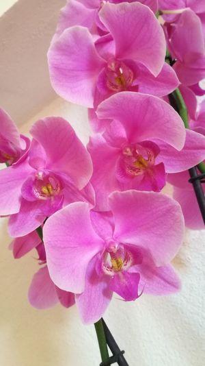 fragility Flower Head Fragility Orchid