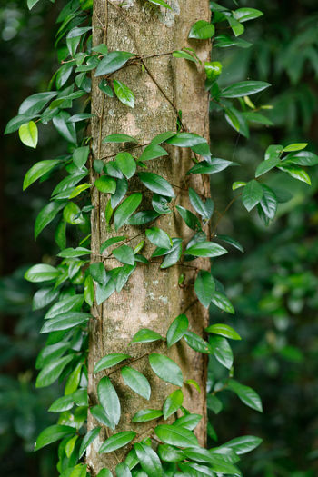Close up leaves on tree trunk Plant Green Color Growth Tree Close-up Nature Focus On Foreground No People Plant Part Tree Trunk Leaf Day Trunk Beauty In Nature Outdoors Selective Focus Mushroom Vegetable Forest Fungus Intertwined
