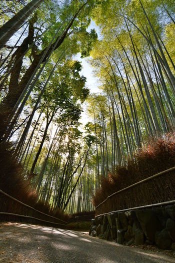 Arashiyama bamboo groove. Kyoto. Japan Tree Plant Forest Nature Tranquility Beauty In Nature Treelined Diminishing Perspective Outdoors Bamboo - Plant Trunk Tree Trunk Tranquil Scene No People Growth The Way Forward Road Japan Kyoto Kyoto,japan Kyoto, Japan Arashiyama Bamboo Grove Arashiyama Bamboo Bamboo Grove Bamboo Forest Travel Destinations Tourism Tourist Attraction  Asian  Japanese