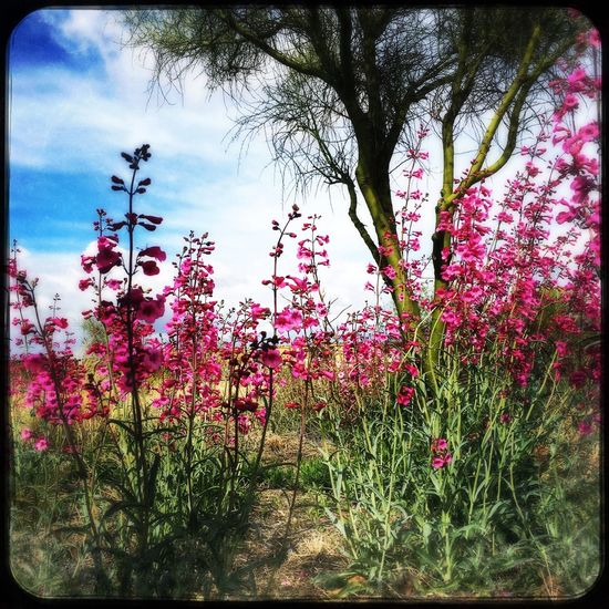 Penstemon on the Trail. Check This Out Taking Photos Flower Collection Wildflowers Wild Flowers Wildflower Penstemon Sonoran Desert IPhoneography Flowers, Nature And Beauty Flower Photography Pinkflower