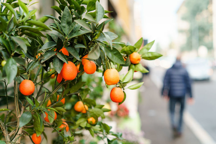 Tangerine branch. Spring fruits background. Tangerine Mandarine Healthy Eating Orange Color Growth Food And Drink Food Fruit Focus On Foreground Freshness Nature Citrus Fruit Plant Plant Part Tree Orange - Fruit Orange Tree Real People Leaf Ripe Day Wellbeing Orange Outdoors Copy Space Spring Fruits Springtime Decadence