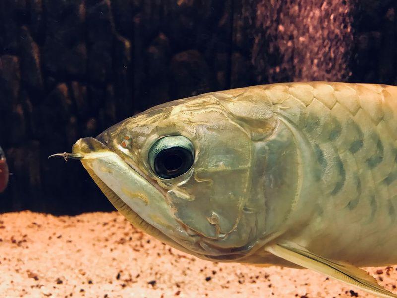 Close up fish Aquarium Animal Golden Eyes Arowana Fish Scale  Fish