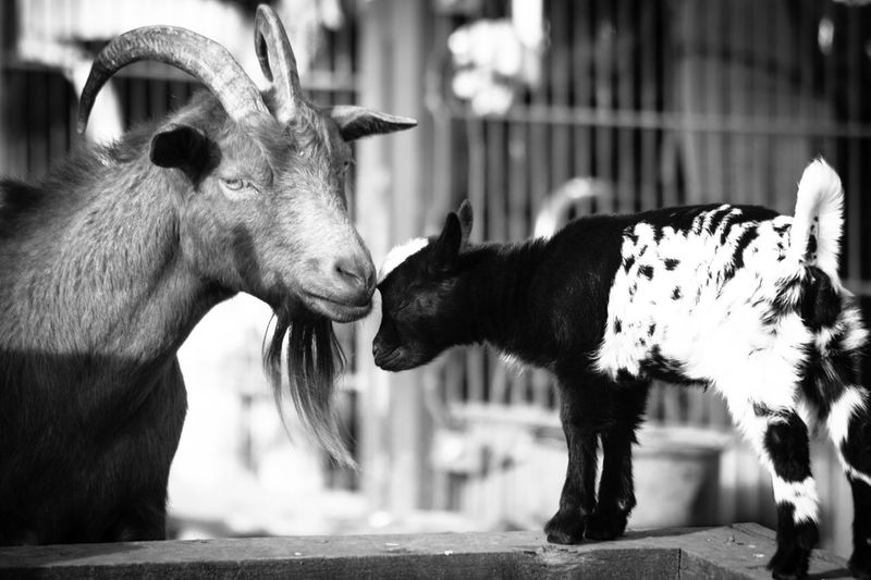 parents love EyeEm Best Shots EyeEm Nature Lover EyeEmNewHere Goat Goats Love Animal Themes Close-up Day Domestic Animals Focus On Foreground Goat Life Goats Head Goats On The Farm Mammal No People Outdoors Parents Love Two Animals
