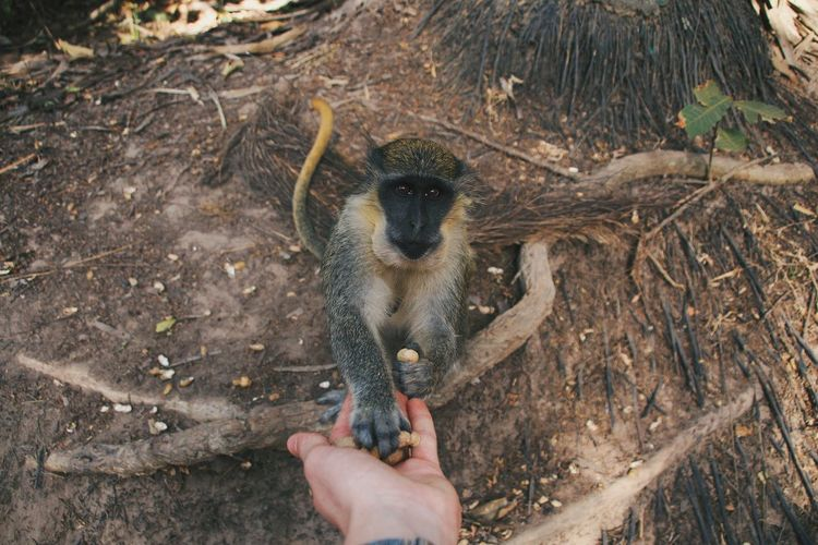 Close-up of hand feeding monkey