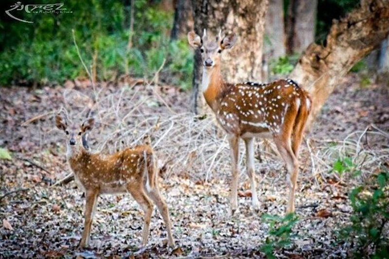 As mother as baby.😁 Rangrezphotography Nikon5300d Nikonphotography Iamnikon Wildlifephotography Spotdeers Mpforests Naturelovers Jungle InstaWild Instaanimal