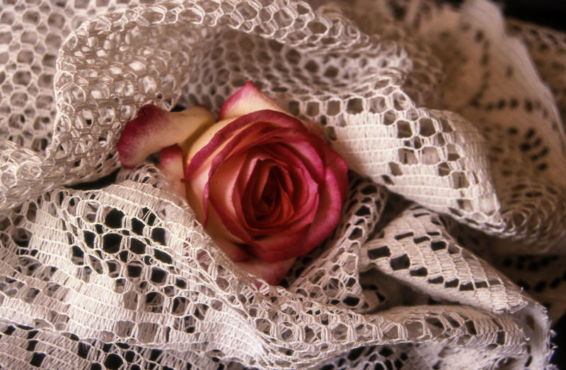 Close-Up Of Pink Rose Wrapped In Knitted Cloth