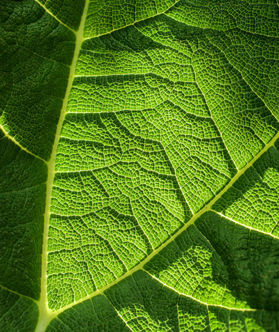 Texture of a leaf. Sunlight shining through and emphasising the leaf structure Backgrounds Beauty In Nature Close-up Contrast Day Freshness Fruit Full Frame Green Color Leaf Nature No People Outdoors Photosynthesis Photosynthesis Leaf Patterns🍂 Leaf Veins Plants 🌱 Sunset Textures And Surfaces