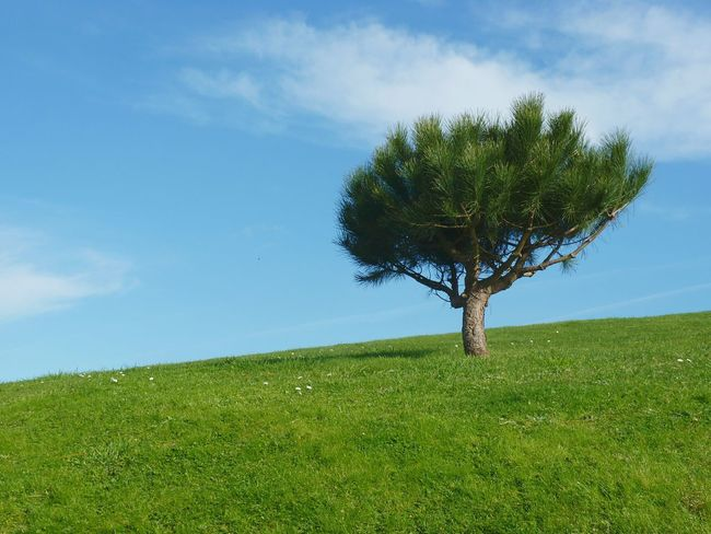 Tree Growth Sky Nature Plant Field Blue Green Color Grass Single Tree Outdoors No People Clear Sky Scenics Beauty In Nature Landscape Pine Tree Galicia One Tree One Tree Hill One Tree Alone Small Tree Meadow