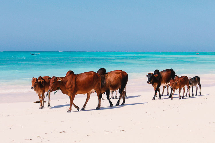 Cattle walking on shore at beach against clear sky