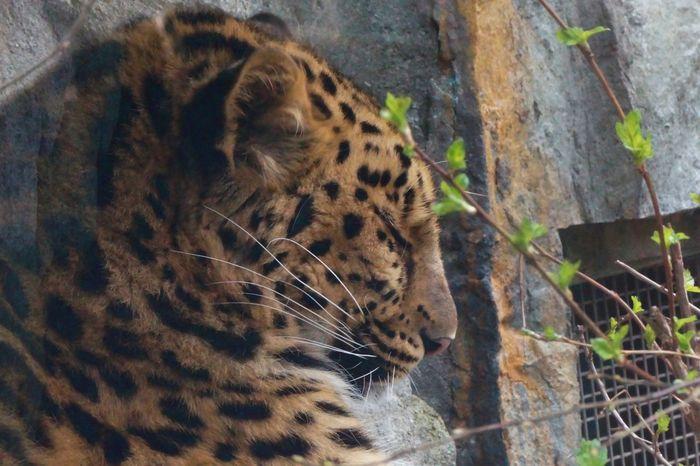 Big Cat Close-up Feline Leopard Nature One Animal Outdoors Zoo Leipzig Zoo Life