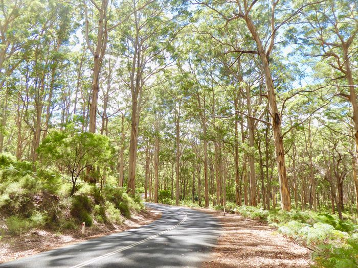 70 Metre High Trees Giant Eucalyptus Trees Karri Forest Beauty In Nature Forest Giant Karri Trees Giant Karri Trees Green Color Nature No People Outdoors Road Road Through Australian Forest Road Through Forest Scenics The Way Forward Timber Industry Tree