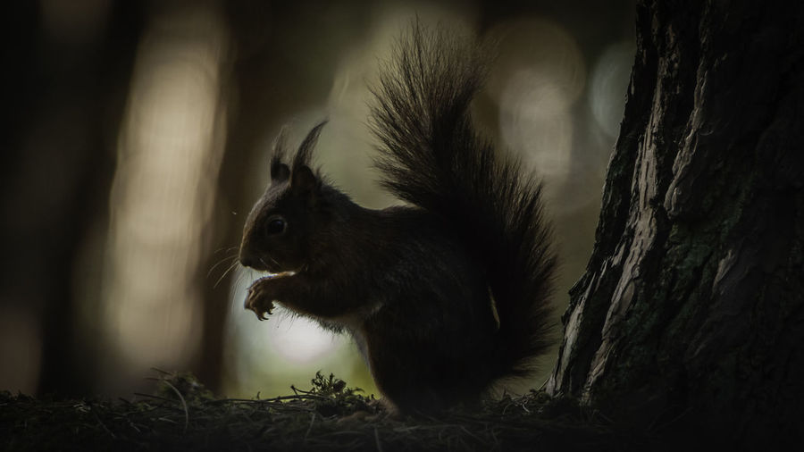 Silhouette Of Squirrel