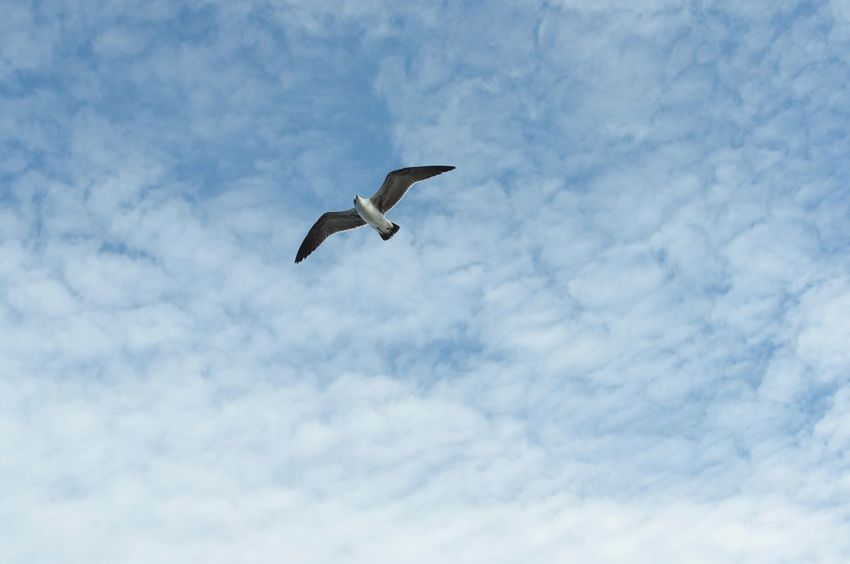 Flying Bird Animals In The Wild Animal Themes One Animal Spread Wings Low Angle View Mid-air Sky Day Nature Seagull Cloud - Sky