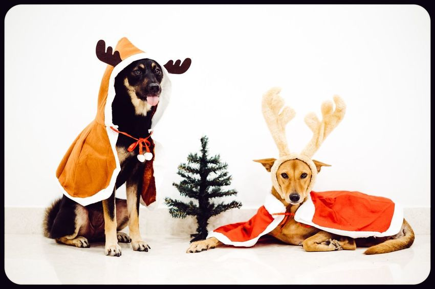 Happy Pawlidays everyone! Remember to stick close to the table and put on your cutest puppy-dog eyes! Spare a thought for the homeless and down and spread the warmth around! Puppies Cute Dogs Christmas Dog Pets Domestic Animals Animal Themes No People Mammal Looking At Camera White Background