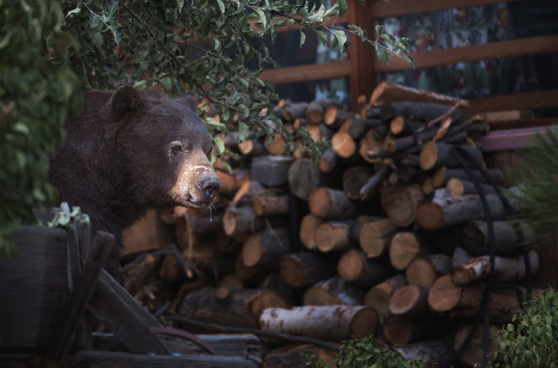 Bear Animal Animal Themes Bear Close Up. Firewood Forest Log Mammal Nature No People One Animal Outdoors Tree Vertebrate Wood Wood - Material