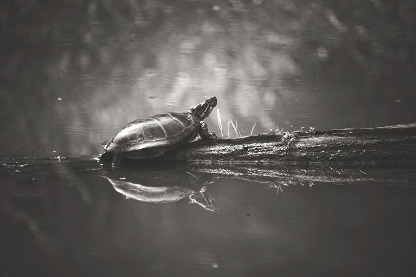 Extraction point Blackandwhite Shades Of Grey Wildlife & Nature Wetlands Turtle Nature Pond Swamp EyeEm Nature Lover Enjoying The Sun