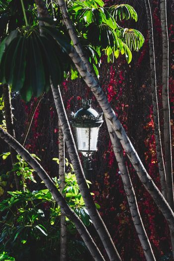Lanterns Natural Beauty Background Nature Background Photography Background Backgrounds Copy Space Lantern Light Lantern Plant Tree Growth No People Built Structure Nature Architecture Branch Outdoors Leaf Plant Part Green Color