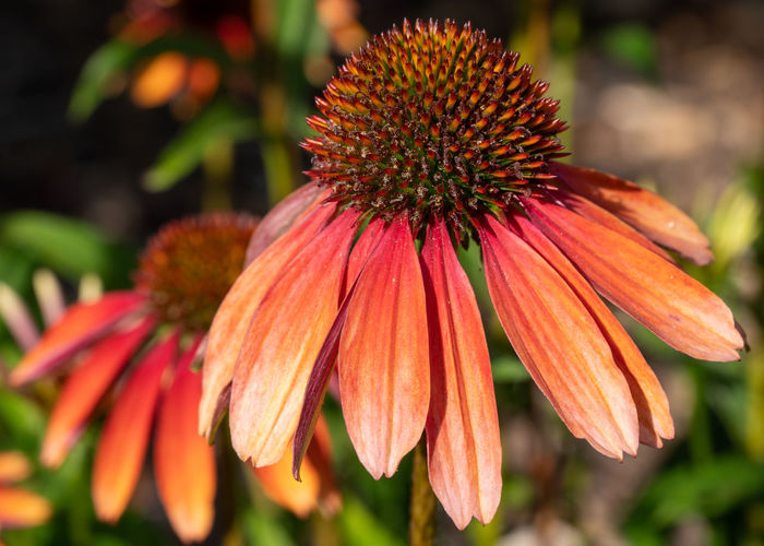 Coneflower (Echinacea purpurea), flowers of summer Flower Flowering Plant Close-up Fragility Vulnerability  Growth Freshness Beauty In Nature Petal Plant Inflorescence Flower Head Focus On Foreground No People Nature Garden Flora Plant Blooming Blossom Bloom Blooming Flower Summertime Coneflower Orange Color Pollen Day Echinacea Echinacea Purpurea