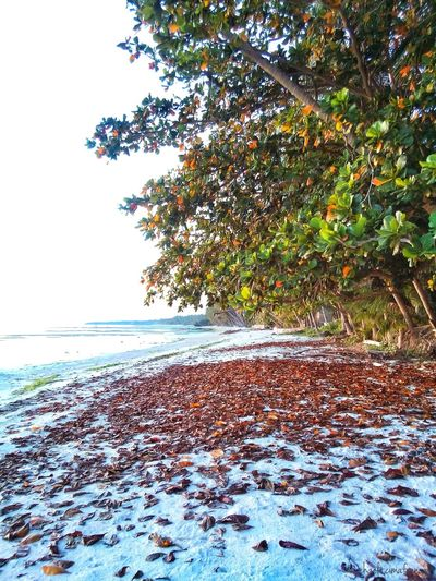 The deciduous Talisay tree sheds its leaves - one colorful event. 11mar Beach Itsmorefuninthephilippines Talisay Wowphilippines Visitph2015 Siquijorisland Bugwas Beachphotography Wowsiquijor Siquijor