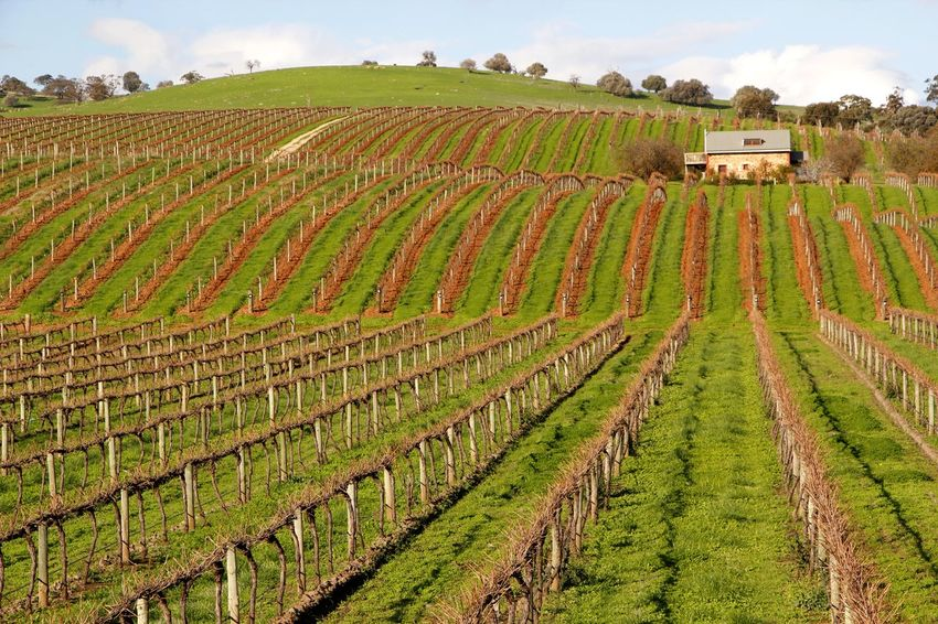 The winter vines in the Barossa Valley Australia waiting for the spring Agriculture Australia Barossa Valley Beauty In Nature Cloud - Sky Crop  Cultivated Land Day Farm Field Green Color Growth Landscape Nature No People Outdoors Rural Scene Scenics Sky Tranquil Tranquility Tree Vines Vineyard