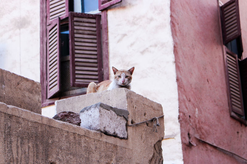 Portrait of a cat on a building in ghetto, luxor, egypt