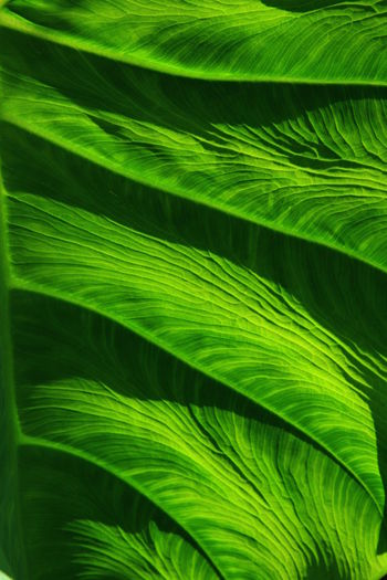Imaginative Photography Close-up Day Elephant Ears Freshness Frond Full Frame Green Color Growth Horticulture Leaf Nature No People Outdoors Plant