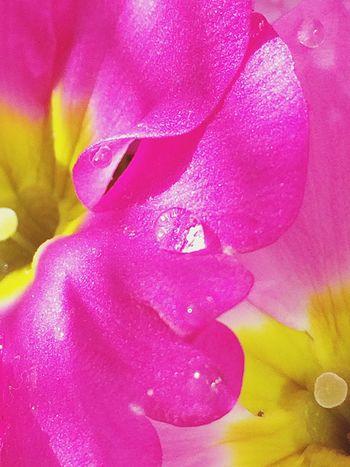 プリムラジュリアン Plants IPhoneography Nature Flower Flowers EyeEm Flower Flowerporn