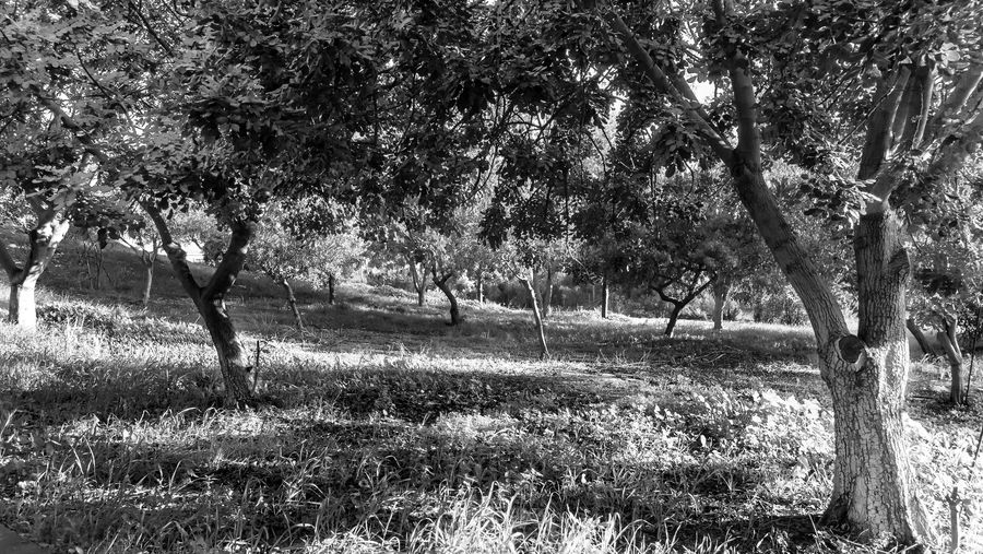 Plant Tree Land Field Growth Nature Day Tranquility Landscape Grass Environment Trunk Tree Trunk No People Beauty In Nature Outdoors Tranquil Scene Sunlight Non-urban Scene Scenics - Nature Blackandwhite Black And White EyeEm EyeEm Best Shots