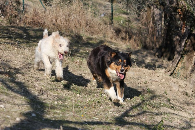 Two dogs running on the field Australian Shepherd  Dogs Nature Aggression  Animal Animal Themes Animals Aussie Canine Dog Domestic Domestic Animals Funny Dog Mammal Mouth Open Nature Pedigree Pets Portrait Purebred Dog Running Sunlight Vertebrate Wallpaper White Dog