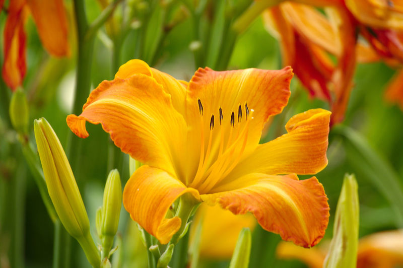 Summer day lily