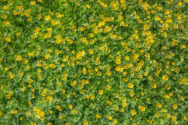 Full frame shot of yellow flowers on field