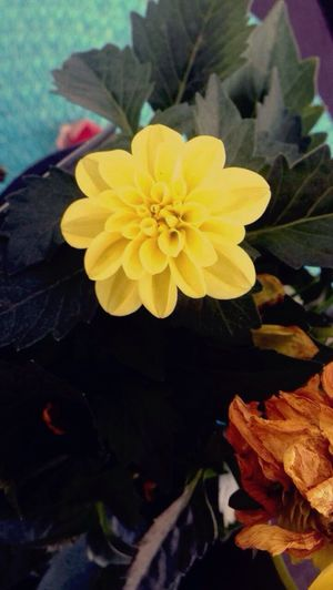 🌼🌼 Flower Head Petal Beauty In Nature Growth Nature Leaf Close-up Yellow Day Outdoors No People Fragility Freshness Blooming Plant