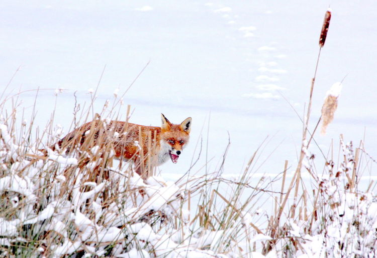 Fox walking on snow field during winter