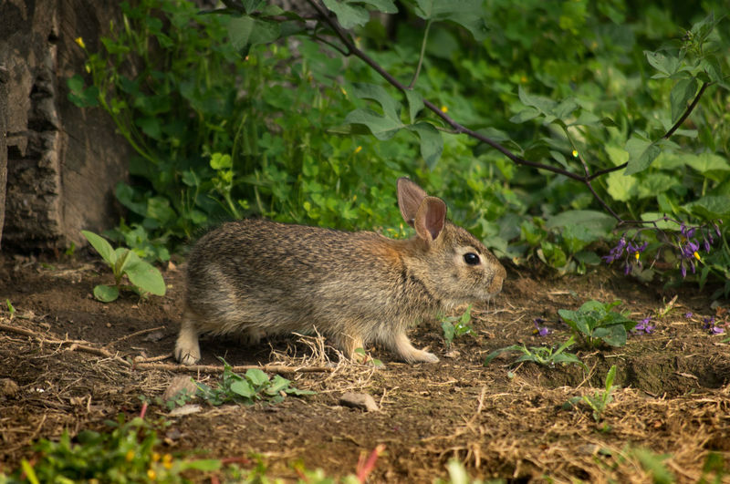 Baby rabbit sneaking from it's woodpile home for a morning nibble... Adorable Animal Themes Animals In The Wild Baby Bunny Bunny  Curious Curious Rabbit Cute Cutest Darling FLUFFY BUNNY Green Color Nature No People One Animal Outdoors Rabbit Wildlife