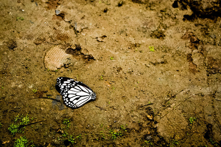 Animal Markings Animal Themes Animal Wildlife Animals In The Wild Beauty In Nature Butterfly Butterfly - Insect Close-up Day Death Ephemeral Fragility High Angle View Insect Nature No People One Animal Outdoors