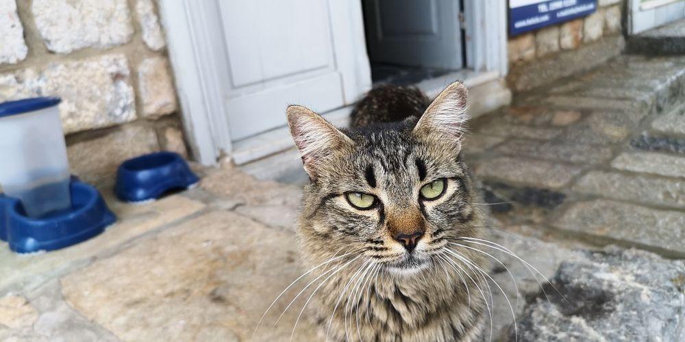Hydra cat Cats