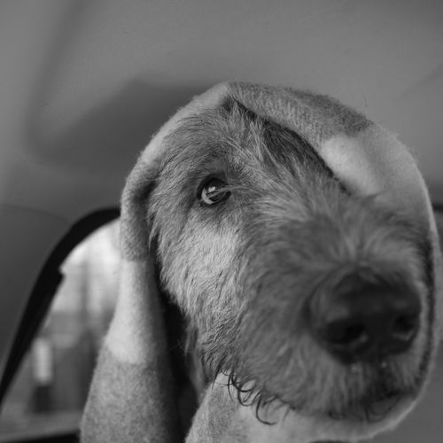 Close-Up Of Irish Wolfhound With Towel On Head In Vehicle