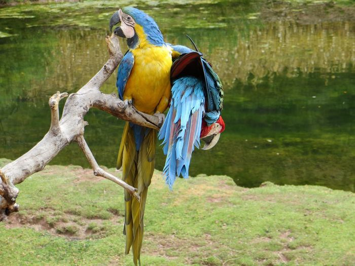 Bird Animal Themes Animals In The Wild Animal Wildlife Nature Beauty In Nature Tree Outdoors Focus On Foreground Day No People Perching Branch Macaw Grass Full Length Water Gold And Blue Macaw