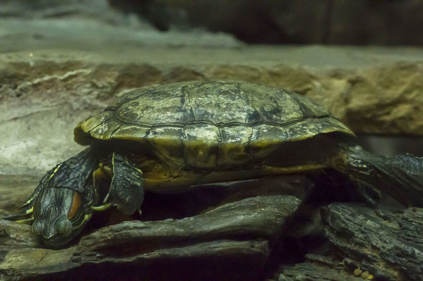 Red-eared Slider Amphibian Animal Animal Shell Animal Themes Animal Wildlife Animals In The Wild Close-up Day Focus On Foreground Marine Nature No People One Animal Red-eared Slider Reptile Rock Sea Shell Tortoise Shell Turtle Vertebrate Zoology