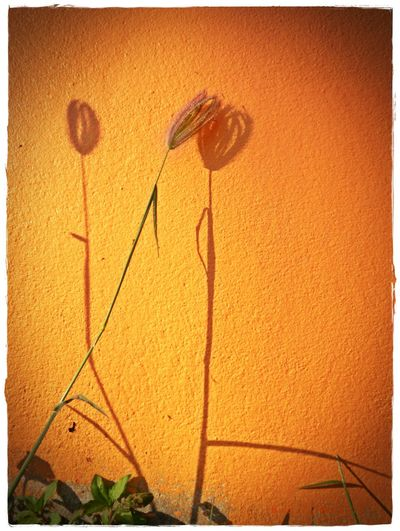 shadow Auto Post Production Filter Close-up Flower Growing Growth No People Orange Color Outdoors Painted Image Plant Pollen Shadow Transfer Print Wall - Building Feature Yellow